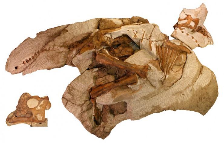 パラサウロロフス実物化石(幼体):© Raymond M. Alf Museum of Paleontology